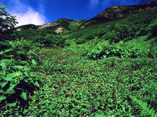 白山・お花松原のクロユリの群落