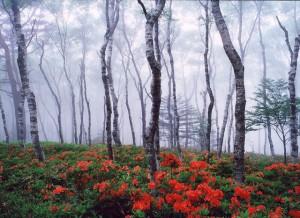レンゲツツジの咲く風景 美ヶ原