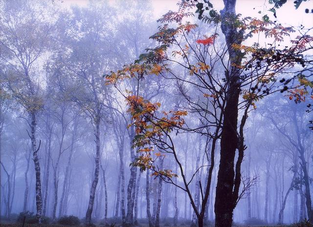白樺林 美ヶ原