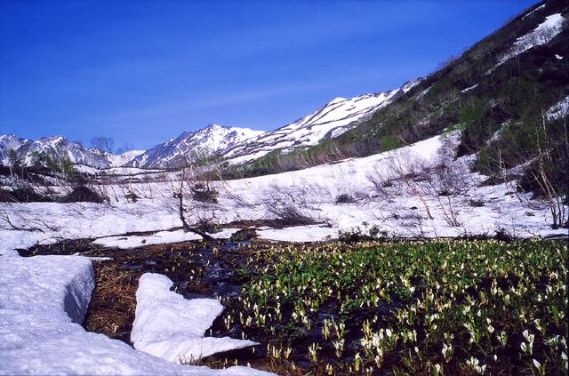 水芭蕉の咲く風景(白馬・栂池)