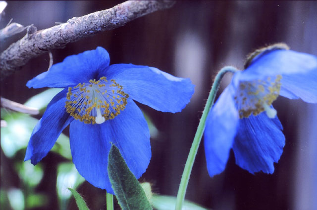 ヒマラヤの青いケシの花(ブルーポピー)