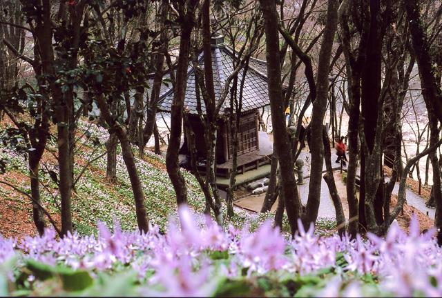 香嵐渓 カタクリの咲く風景